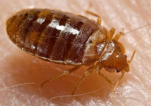 Bedbug removal experts in Tucson, Arizona