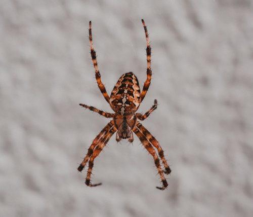 Tucson Spider Removal Pros and Exterminators